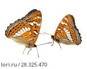 Купить «Две бабочки ленточника тополёвого (лат. Limenitis populi) — дневная бабочка из семейства нимфалид на белом фоне изолировано», фото № 28325470, снято 16 июня 2016 г. (c) Наталья Волкова / Фотобанк Лори