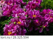 Купить «Пионы в саду», фото № 28325594, снято 8 июня 2014 г. (c) Ольга Сейфутдинова / Фотобанк Лори