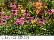Купить «Цветы эхинацеи в саду (Caneflower - Echinacea)», фото № 28325638, снято 27 июля 2014 г. (c) Ольга Сейфутдинова / Фотобанк Лори