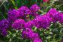 Купить «Флокс (Phlox). Группа цветущих растений», фото № 28325710, снято 3 августа 2014 г. (c) Ольга Сейфутдинова / Фотобанк Лори