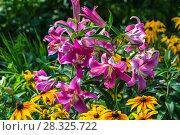 Купить «ЛилияОТ-гибрид в саду», фото № 28325722, снято 3 августа 2014 г. (c) Ольга Сейфутдинова / Фотобанк Лори