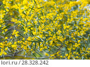 Купить «acacia dodonaefolia flowers», фото № 28328242, снято 21 октября 2018 г. (c) Яков Филимонов / Фотобанк Лори