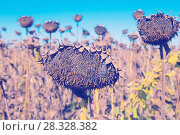 Купить «Picturesque fields of ripe sunflowers», фото № 28328382, снято 14 сентября 2017 г. (c) Яков Филимонов / Фотобанк Лори