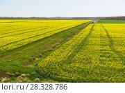 Поля с цветущим рапсом (лат. Brassica napus) в апреле. Россия, Краснодарский край. Стоковое фото, фотограф Наталья Гармашева / Фотобанк Лори