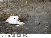 Купить «Surface of freezing swamp after snowfall in early spring or late autumn», фото № 28328802, снято 22 апреля 2018 г. (c) Евгений Харитонов / Фотобанк Лори