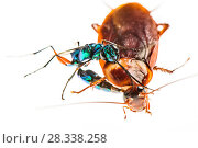 Купить «Jewel wasp (Ampulex compressa) stinging Cockroach prey (Periplaneta americana) with venom which will make the cockroach sluggish before leading it to nest to as host for its larvae. Captive.», фото № 28338258, снято 16 июля 2018 г. (c) Nature Picture Library / Фотобанк Лори