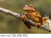 Купить «Marsupial frog (Gastrotheca sp) new species found while working  with researchers in the Cosnipata Valley, Peru», фото № 28338302, снято 22 августа 2018 г. (c) Nature Picture Library / Фотобанк Лори