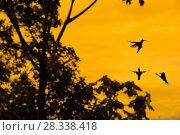 Купить «Violet sabrewing hummingbird (Campylopterus hemileucurus) male hummingbirds territorial fight at dawn, Turrialba, Costa Rica.», фото № 28338418, снято 22 сентября 2018 г. (c) Nature Picture Library / Фотобанк Лори
