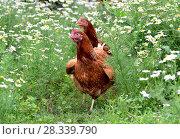 Купить «Red hens in camomiles in nature», фото № 28339790, снято 16 июля 2016 г. (c) Володина Ольга / Фотобанк Лори