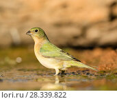 Купить «Painted bunting (Passerina ciris) at a watering hole, Texas, USA. June.», фото № 28339822, снято 23 января 2019 г. (c) Nature Picture Library / Фотобанк Лори