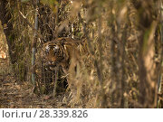 Купить «Bengal tiger (Panthera tigris tigris) male, standing in bush, Bandhavgarh National Park, Madhya Pradesh, India. February.», фото № 28339826, снято 19 августа 2018 г. (c) Nature Picture Library / Фотобанк Лори