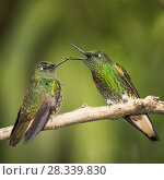 Купить «Two Buff-tailed coronet (Boissonneaua flavescens) hummingbirds interacting,  Andean montane forest, Ecuador. April.», фото № 28339830, снято 25 сентября 2018 г. (c) Nature Picture Library / Фотобанк Лори