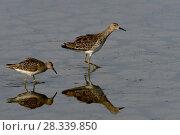 Купить «Ruffs (Philomachus pugnax) Vendeen Marsh, France, November.», фото № 28339850, снято 16 августа 2018 г. (c) Nature Picture Library / Фотобанк Лори