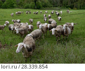 Купить «Lacaune sheep, which produce milk for Roquefort Cheese, Aveyron, France, May.», фото № 28339854, снято 16 августа 2018 г. (c) Nature Picture Library / Фотобанк Лори