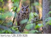 Купить «Long-eared owl (Asio otus) Bavarian forest National Park, Germany, Europe  Captive.», фото № 28339926, снято 23 июля 2018 г. (c) Nature Picture Library / Фотобанк Лори