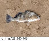 Купить «Fish  black drum (Pogonias cromis) on the sandy beach», фото № 28340966, снято 24 марта 2018 г. (c) Ирина Кожемякина / Фотобанк Лори