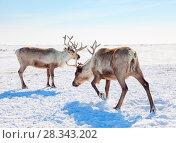 Купить «Reindeer in winter tundra», фото № 28343202, снято 14 апреля 2017 г. (c) Владимир Мельников / Фотобанк Лори