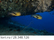 Two Midnight Snapper (Macolor macularis) swims in the cave. Стоковое фото, фотограф Некрасов Андрей / Фотобанк Лори