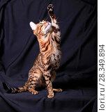 Купить «Красивый бенгальский кот поднял лапу вверх на черном фоне», фото № 28349894, снято 30 апреля 2018 г. (c) Яна Королёва / Фотобанк Лори