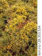 Купить «Aulaga mora or morisca (Ulex canescens) is a spiny dense branch shrub endemic to Almeria province. This photo was taken in Cabo de Gata Natural Park, Andalucia, Spain.», фото № 28353534, снято 13 февраля 2016 г. (c) age Fotostock / Фотобанк Лори