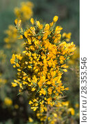 Купить «Small-flowered gorse or Spanish gorse (Ulex parviflorus) is a strongly prickly shrub native to western Mediterranean Basin and center and southern Portugal...», фото № 28353546, снято 20 января 2019 г. (c) age Fotostock / Фотобанк Лори