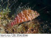 Купить «Threadfin Hawkfish (Cirrhitichthys aprinus), Pantai Nama,dive site, Ambon, Maluku (Moluccas), Banda Sea, Indonesia.», фото № 28354894, снято 27 февраля 2018 г. (c) age Fotostock / Фотобанк Лори