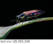 Купить «Rainbow jewel beetle (Agrilaxia sp) Sao Paulo, Brazil. South-east Atlantic forest.», фото № 28355338, снято 25 мая 2020 г. (c) Nature Picture Library / Фотобанк Лори