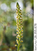 Купить «Man orchid (Orchis anthropophora) flower spike. Abruzzo, Central Apennines, Italy, May.», фото № 28355878, снято 19 июля 2018 г. (c) Nature Picture Library / Фотобанк Лори