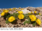 Купить «Adonis distorta on mountain summit. Endangered species, endemic to the Apennines. Abruzzo, Central Apennines, Italy, July.», фото № 28355894, снято 15 августа 2018 г. (c) Nature Picture Library / Фотобанк Лори