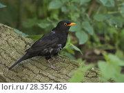 Купить «Common Blackbird ( Turdus merula ) sitting in nice surrounding on a fallen tree, wildlife, Europe.», фото № 28357426, снято 6 июня 2014 г. (c) age Fotostock / Фотобанк Лори