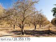 Купить «Dead and dying Almond trees in Almond groves in Wasco in the Central Valley of California after the irrigation water ran out following the four year long...», фото № 28359170, снято 17 августа 2018 г. (c) Nature Picture Library / Фотобанк Лори