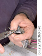 Купить «Young Common swift chick (Apus apus) removed briefly from a nest box being ringed by Simon Evans in a church belfry, Worlington, Suffolk, UK, July. Model released.», фото № 28360670, снято 15 августа 2018 г. (c) Nature Picture Library / Фотобанк Лори