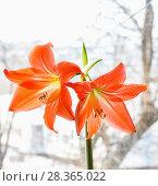 Купить «Гиппеаструм красный (Hippeastrum)», фото № 28365022, снято 21 февраля 2015 г. (c) Алёшина Оксана / Фотобанк Лори