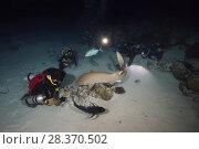 Купить «Group of scuba divers watch the Tawny nurse shark (Nebrius ferrugineus) at night», фото № 28370502, снято 24 марта 2018 г. (c) Некрасов Андрей / Фотобанк Лори