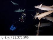 Купить «Female scubadiver swims in a pack of Tawny nurse sharks (Nebrius ferrugineus) at night», фото № 28370506, снято 24 марта 2018 г. (c) Некрасов Андрей / Фотобанк Лори