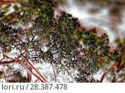 Купить «Reindeer lichen Cladonia rangiferina», фото № 28387478, снято 22 мая 2016 г. (c) Евгений Ткачёв / Фотобанк Лори