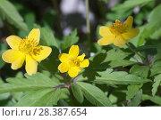 Купить «Цветы Ветреницы лютичной», фото № 28387654, снято 2 мая 2018 г. (c) Александр Курлович / Фотобанк Лори