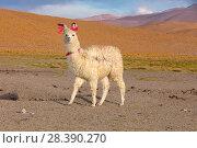 Купить «Llama with traditional brightly coloured woollen ear tags. December 2016.», фото № 28390270, снято 21 июля 2018 г. (c) Nature Picture Library / Фотобанк Лори