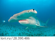 Купить «A portrait of a female great hammerhead shark (Sphyrna mokarran) swimming over the seabed. South Bimini, Bahamas. The Bahamas National Shark Sanctuary... Hook in face of shark removed in Photoshop.», фото № 28390486, снято 18 августа 2018 г. (c) Nature Picture Library / Фотобанк Лори