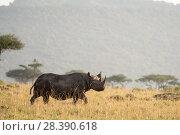 Купить «Black rhino (Diceros bicornis), male on the plains, Masai-Mara Game Reserve, Kenya», фото № 28390618, снято 18 августа 2018 г. (c) Nature Picture Library / Фотобанк Лори