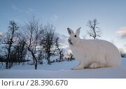 Купить «Mountain hare (Lepus timidus) in white winter coat. Vauldalen, Norway, April.», фото № 28390670, снято 25 мая 2018 г. (c) Nature Picture Library / Фотобанк Лори