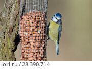 Купить «Blue tit (Parus caeruleus) perched on a bird feeder filled with peanuts, Gloucestershire, UK, February.», фото № 28390714, снято 27 мая 2018 г. (c) Nature Picture Library / Фотобанк Лори