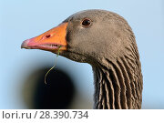 Купить «Greylag goose (Anser anser) head close up with grass in its beak after grazing, Gloucestershire, UK, February.», фото № 28390734, снято 24 мая 2018 г. (c) Nature Picture Library / Фотобанк Лори