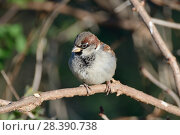 Купить «House sparrow (Passer domesticus) male perched in a bush, Somerset, UK, December.», фото № 28390738, снято 19 июля 2018 г. (c) Nature Picture Library / Фотобанк Лори