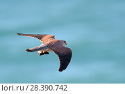 Купить «Kestrel (Falco tinnunculus) flying over sea with Short-tailed field vole (Microtus agrestis) prey, caught on coastal grassland, Cornwall, UK, April.», фото № 28390742, снято 18 июля 2018 г. (c) Nature Picture Library / Фотобанк Лори