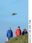 Купить «Kestrel (Falco tinnunculus) hovering near cliff edge with walkers on the coast path in the background, Cornwall, UK, April.», фото № 28390746, снято 15 октября 2018 г. (c) Nature Picture Library / Фотобанк Лори