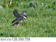 Купить «Peregrine falcon (Falco peregrinus) flying over meadow carrying Feral pigeon (Columba livia) prey, Cornwall, UK, April.», фото № 28390758, снято 16 октября 2018 г. (c) Nature Picture Library / Фотобанк Лори