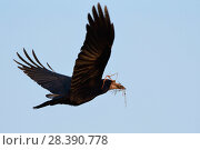 Купить «Rook (Corvus frugilegus) flying with twigs it has collected for its nest, Cornwall, UK, March.», фото № 28390778, снято 19 марта 2019 г. (c) Nature Picture Library / Фотобанк Лори