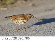 Купить «Song thrush (Turdus philomelos) manipulating hairy caterpillar prey on a road side, throwing it down repeatedly before eating it, Cornwall, UK, April.», фото № 28390786, снято 27 мая 2018 г. (c) Nature Picture Library / Фотобанк Лори