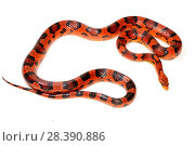 Купить «Corn snake (Pantherophis guttatus), Okeetee breed, on white background, captive, occurs in USA.», фото № 28390886, снято 24 мая 2018 г. (c) Nature Picture Library / Фотобанк Лори